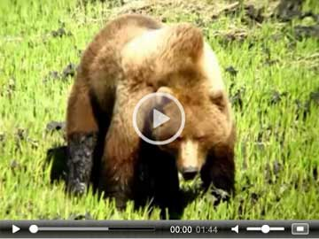 Bear and Wildlife Video