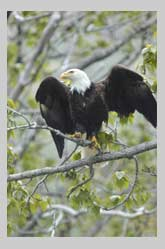 Bald Eagle perched with open wings